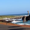 Beautiful ostrich family along the beach on the way to cap of good hope