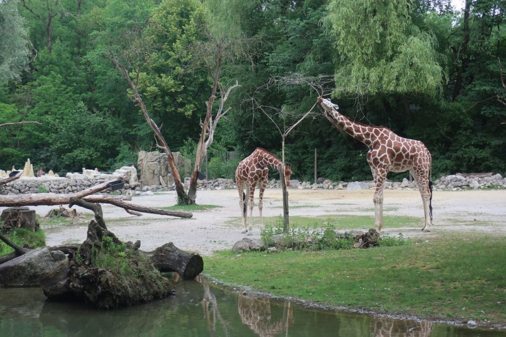 Two giraffe, Munich zoo